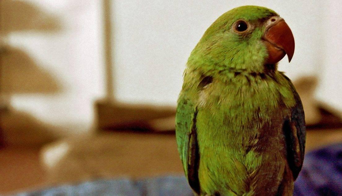 Приемане в дома на възрастен папагал             нежелан от друго семейство