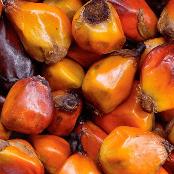 a. Палмови ядки- естествена храна 250 гр. Храни и лакомства Храни за големи папагали Лакомства - Яйчни храни и Други Лакомства и Други Насипни Храни за големи папагали Всички продукти